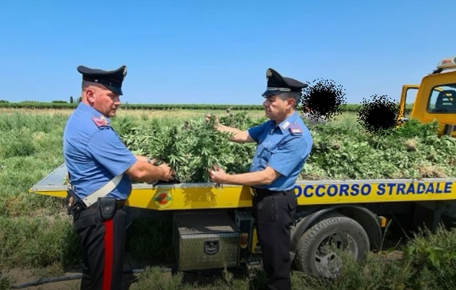 Operazione antidroga a Cerignola: sequestrate 5000 piantine di marijuana