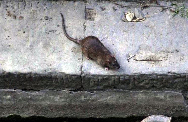 A Cerignola nuova invasione di topi: la mappa degli avvistamenti
