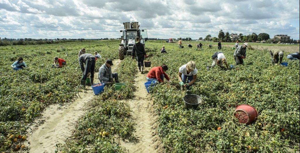 Marchiodoc - Caporalato e sfruttamento raccolta pomodoro